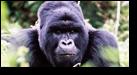 A hairy gorilla